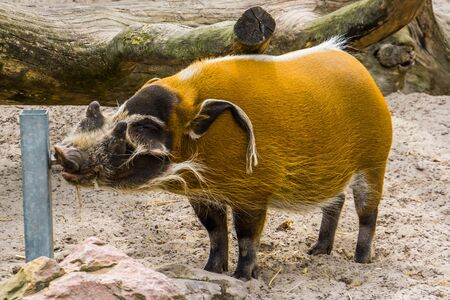 Foto de Red river hog drinking water from a water system in the zoo, tropical wild boar from Africa - Imagen libre de derechos