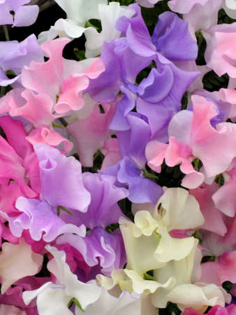 Photo for Sweet peas - Royalty Free Image