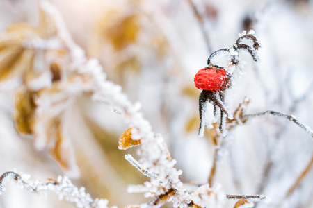 Photo for Frozen flowers and leaves of wild rose covered with a crust of ice. Plants of the Rose family, of the order Rosales. Flora and fauna in the harsh snow of the Russian winter - Royalty Free Image