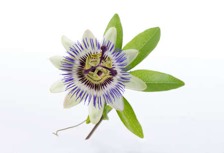 Photo for macro shot of a blue passion flower passiflora - Royalty Free Image