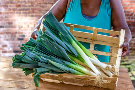 Closeup of woman hands holding a large Fresh Green and White Leeks on Display in Crate Local Farmers Markete wooden crate on old brick wall background