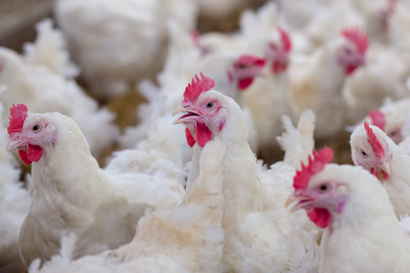 Photo for Poultry farm business for the purpose of farming meat or eggs for food from chicken (Farming) - Royalty Free Image