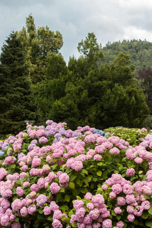 Photo for colorful blooming hydrangea background - Royalty Free Image