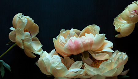 Photo for Beautiful pink and white peonies on dark background. - Royalty Free Image