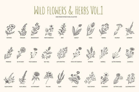 Illustration pour Wild flowers and herbs hand drawn set. Volume 1. Botany. Vintage flowers. illustration in the style of engravings. - image libre de droit