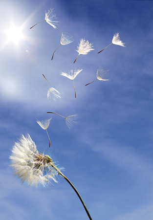 Photo for flying dandelion seeds on a blue background - Royalty Free Image