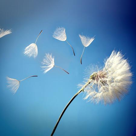 Foto de flying dandelion seeds on a blue background - Imagen libre de derechos