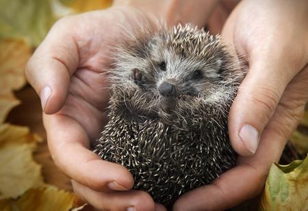 Photo pour charming hedgehog in male hands on a background of autumn leaves - image libre de droit
