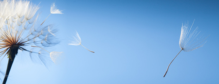 Photo pour flying dandelion seeds on a blue background - image libre de droit