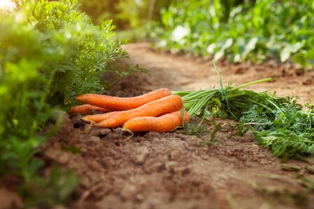 Photo pour Carrots picking in garden.Carrots on garden ground. - image libre de droit