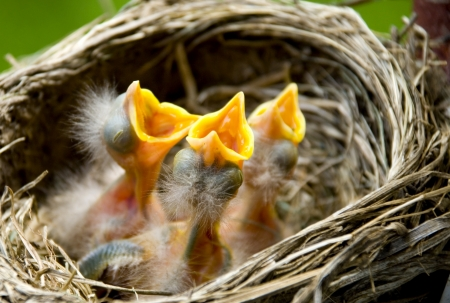 Photo pour Three hungry baby Robins in a nest wanting the mother bird to come and feed them, copy space - image libre de droit