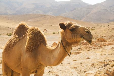 Foto de camel in desert summer day - Imagen libre de derechos
