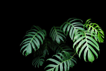 Foto de Green leaves of Monstera plant growing in wild, the tropical forest plant, evergreen vine on black background. - Imagen libre de derechos