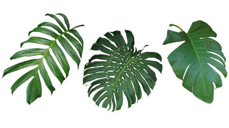 Foto de Tropical leaves set isolated on white background, clipping path included. Green leaves of Philodendron, Monstera, and Pothos the evergreen vine exotic plant. - Imagen libre de derechos