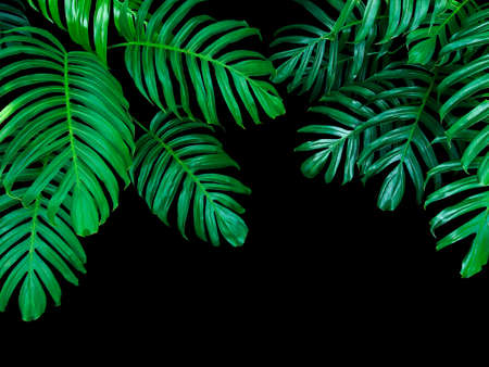Photo for Green leaves of Monstera philodendron plant growing in wild, the tropical forest plant, evergreen vine on black background.  - Royalty Free Image