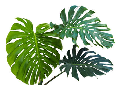 Photo for Large green leaves of monstera or split-leaf philodendron (Monstera deliciosa) the tropical foliage plant growing in wild isolated on white background, clipping path included. - Royalty Free Image