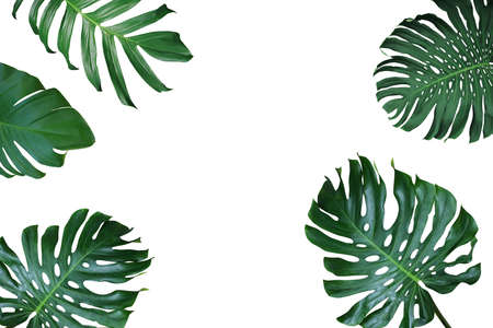 Photo for Tropical leaves nature frame layout of Monstera deliciosa, split-leaf philodendron, and pothos the exotic plants on white background. - Royalty Free Image
