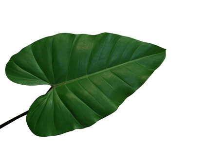 Photo for Heart-shaped philodendron green leaf, tropical foliage plant isolated on white background, clipping path included. - Royalty Free Image
