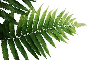 Foto de Green leaves fern tropical rainforest foliage plant isolated on white background - Imagen libre de derechos