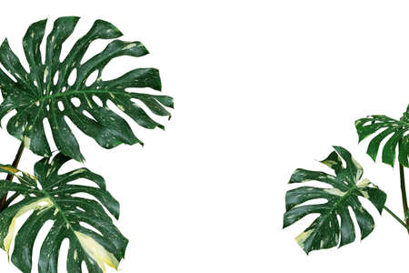 Photo pour Variegated plant leaves nature background of monstera or split-leaf philodendron (Monstera deliciosa) the tropical foliage exotic houseplant isolated on white background, clipping path included. - image libre de droit