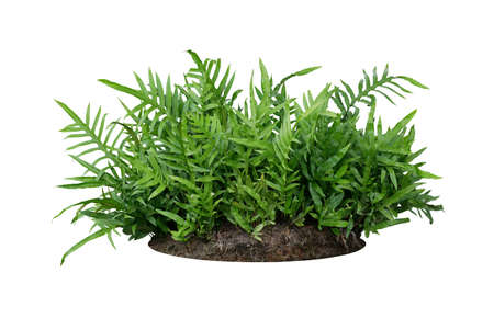 Photo for Green leaves Hawaiian Laua'e fern or Wart fern tropical foliage plant bush on ground with dead plants humus isolated on white background, clipping path included. - Royalty Free Image