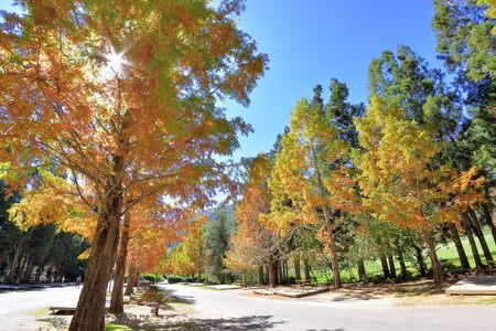 Photo pour Colorful winter Bald Cypress tree (Wuling Farm in Taichung,Taiwan) - image libre de droit