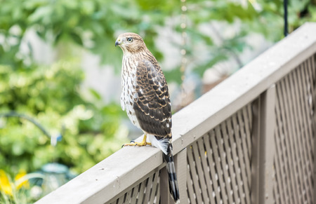 Photo for Cooper's Hawk in a Backyard - Royalty Free Image