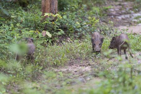 The baby wild boar herds