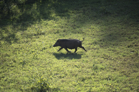 wild pig walking in the grassland