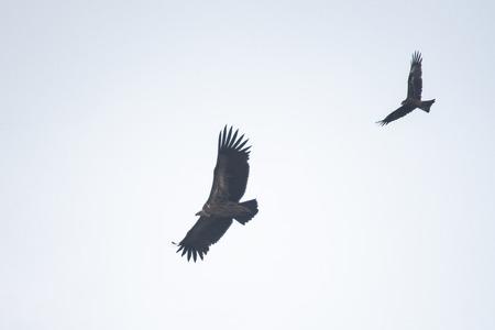 Photo pour Himalayan griffon vulture on sky, Thailand - image libre de droit