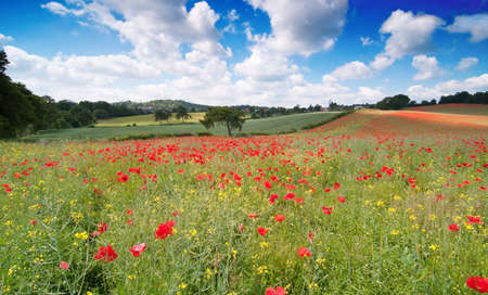 Poppy field landscape in English countryside with rolling hills