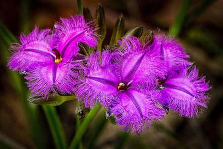 Photo pour Three purple Fringe Lily Flowers Western Australia - image libre de droit