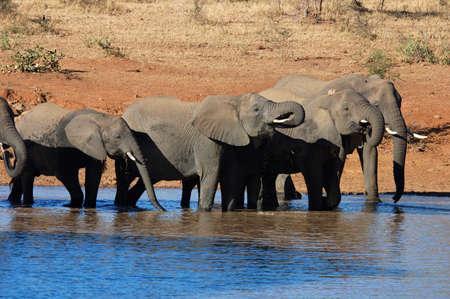 Herd of African Elephant