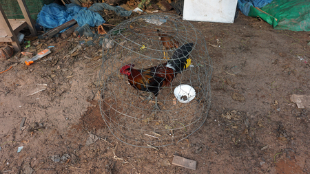 Foto de a big chicken in a cage on otres beach in cambodia - Imagen libre de derechos