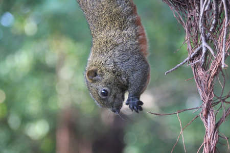 Photo for Hanging squirrel - Royalty Free Image