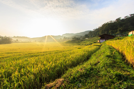 Foto de Paddy green and gold Rice Fields in Thailand - Imagen libre de derechos