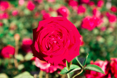 Foto de A beautiful rose flower brightly red on a huge well-kept flower bed flowerbed - Imagen libre de derechos
