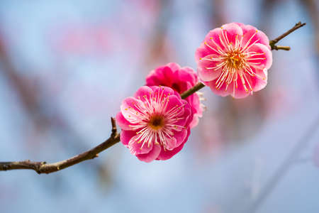 two red plum flowers closeup in the winter