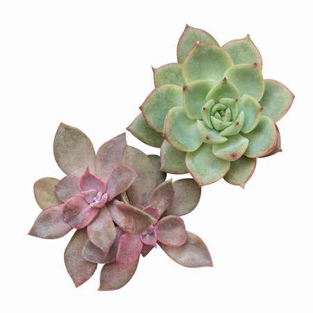Foto de succulent plant isolated on white - Imagen libre de derechos