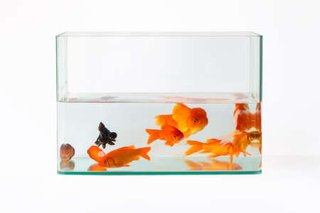 Photo pour goldfish in glass fish tank isolated on white - image libre de droit
