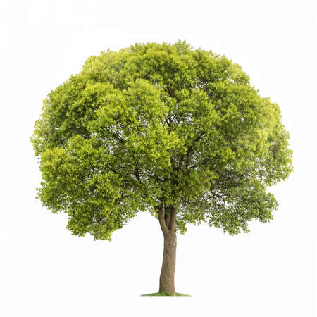 Photo for tree isolated on white background, green camphor tree - Royalty Free Image