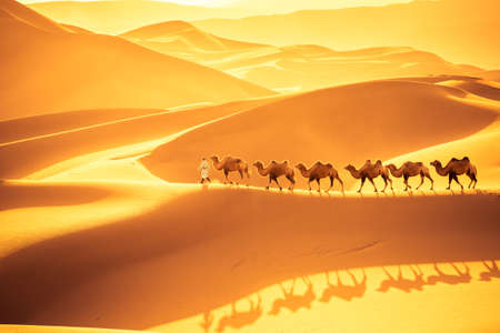 Photo pour camels team march on the sand dunes, golden desert landscape in sunset - image libre de droit