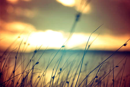 Photo pour Wild grasses at golden summer sunset vintage landscape . - image libre de droit
