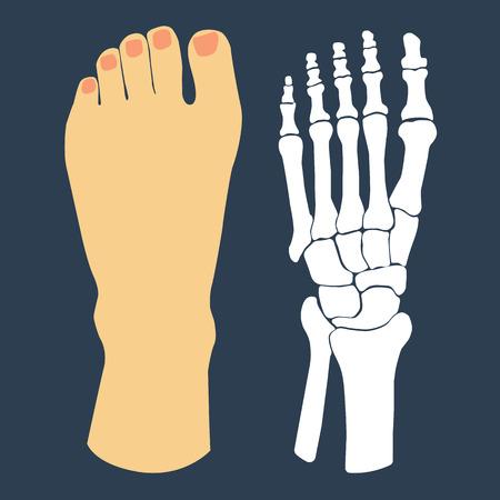 Ilustración de The flat design of the foot and the foot skeleton. Vector illustration. - Imagen libre de derechos