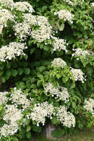 Photo for Climbing hydrangea in the garden - Royalty Free Image
