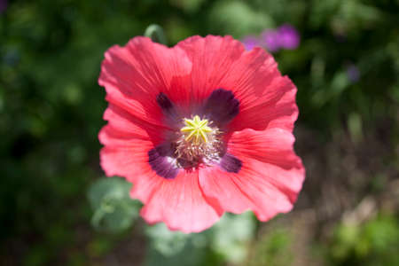 Photo pour Delicate light red Poppy closeup. Yellow stamen detail. - image libre de droit