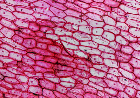 Foto de High resolution light photomicrograph of Onion epidermus cells seen through a microscope - Imagen libre de derechos