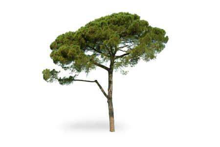 Photo pour Maritime pine on white background - image libre de droit