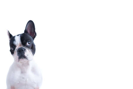 Photo for Portrait of funny black and white Frenchie looking up against of white background. - Royalty Free Image