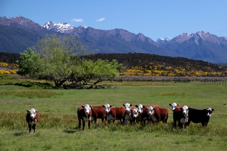 Cattle herd in the Eglinton River Valley, Southland, South island, New Zealand